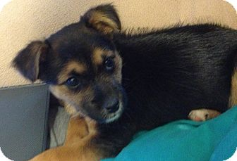 Terrier (Unknown Type, Small) Mix Puppy for adoption in East Hartford, Connecticut - HADLEY in manchester ct