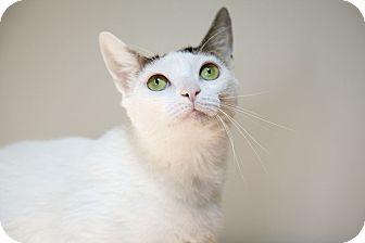 Domestic Shorthair Cat for adoption in Brooklyn, New York - Cinderella