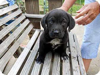 Great Pyrenees/Golden Retriever Mix Puppy for adoption in Salem, New Hampshire - PUPPY ISAAC