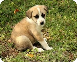 Great Pyrenees/Labrador Retriever Mix Puppy for adoption in Allentown, Pennsylvania - Sidney