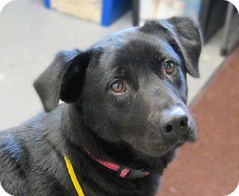Labrador Retriever Dog for adoption in Sidney, Ohio - Tonya