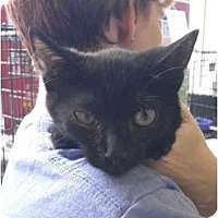 Adopt A Pet :: Midnight - Warren, MI