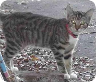 Domestic Shorthair Kitten for adoption in El Segundo, California - Pepper