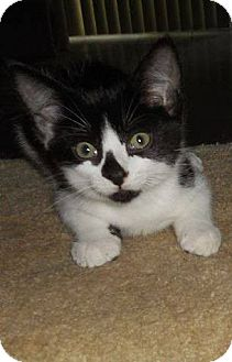 Domestic Shorthair Kitten for adoption in Rochester, Minnesota - Brut