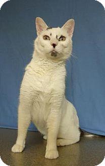 Domestic Shorthair Cat for adoption in Larned, Kansas - Simba