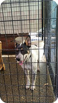 Australian Cattle Dog Mix Dog for adoption in Gustine, California - ZEKE