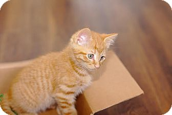 Domestic Shorthair Kitten for adoption in Homewood, Alabama - Ace