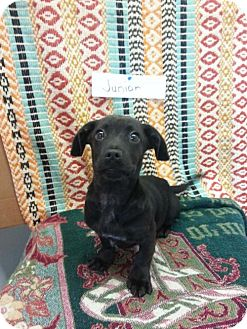 Dachshund/Labrador Retriever Mix Dog for adoption in Greenville, Kentucky - Junior