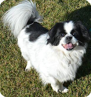 Japanese Chin Mix Dog for adoption in Fruit Heights, Utah - Oreo