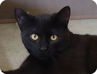 Domestic Shorthair Cat for adoption in Greenfield, Indiana - Bond
