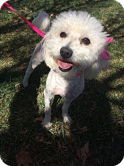 Poodle (Miniature) Mix Dog for adoption in Studio City, California - Olivia