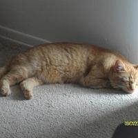 Domestic Shorthair Cat for adoption in Cincinnati, Ohio - zz 'Maddie' courtesy post