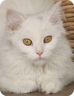 Domestic Longhair Kitten for adoption in Savannah, Missouri - Suzanna