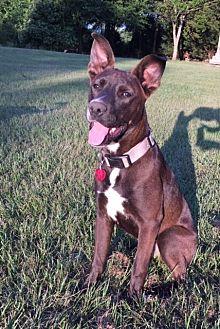 Shepherd (Unknown Type) Mix Puppy for adoption in Cranston, Rhode Island - DUDLEY