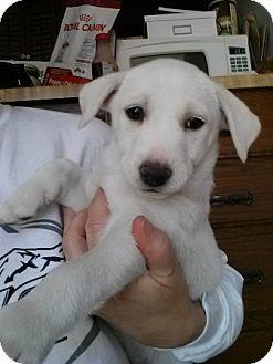 Labrador Retriever/Border Collie Mix Puppy for adoption in Fenton, Missouri - Isis