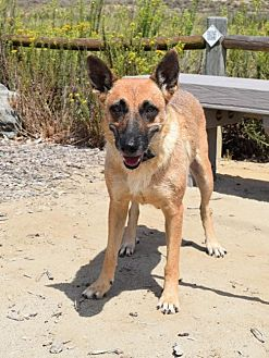 German Shepherd Dog Dog for adoption in San Diego, California - Alsace