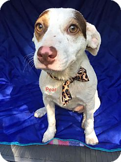 Cattle Dog Mix Puppy for adoption in East Hartford, Connecticut - Pear- Adoption pending