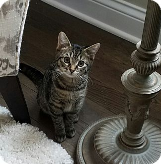 Domestic Shorthair Kitten for adoption in Freeland, Michigan - Anna May