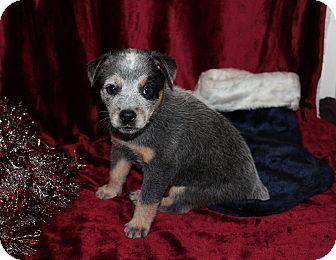 Australian Cattle Dog Mix Puppy for adoption in West Milford, New Jersey - FAERYN