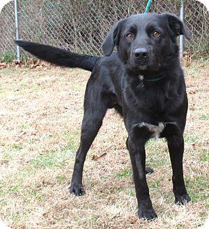 Labrador Retriever/Blue Heeler Mix Dog for adoption in Reeds Spring, Missouri - Neil