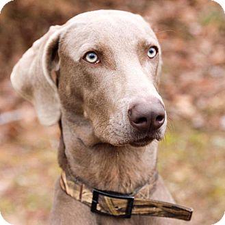 Weimaraner Mix Dog for adoption in CUMMING, Georgia - Luc
