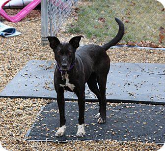 Podengo Portugueso/Border Collie Mix Dog for adoption in Medfield, Massachusetts - Nessa
