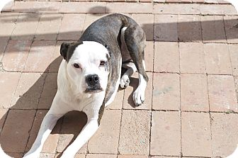 Boston Terrier/American Staffordshire Terrier Mix Dog for adoption in Greeley, Colorado - Sissy