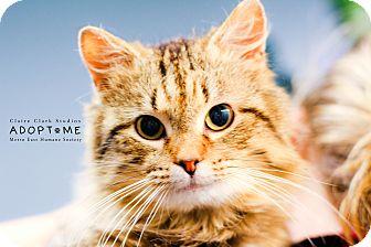 Domestic Shorthair Cat for adoption in Edwardsville, Illinois - Maximus