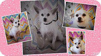 Terrier (Unknown Type, Small) Mix Dog for adoption in Houston, Texas - Ravioli