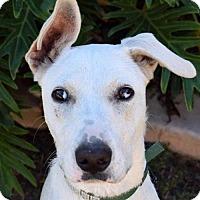 Shepherd (Unknown Type)/Terrier (Unknown Type, Medium) Mix Dog for adoption in San Diego, California - Terra