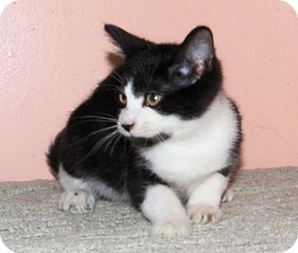 Domestic Shorthair Kitten for adoption in Morganton, North Carolina - Sisco