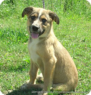 Collie/Shepherd (Unknown Type) Mix Puppy for adoption in PRINCETON, Kentucky - SPENCER/ADOPTED