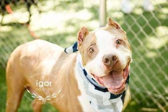 American Pit Bull Terrier Mix Dog for adoption in Kansas City, Missouri - Igor