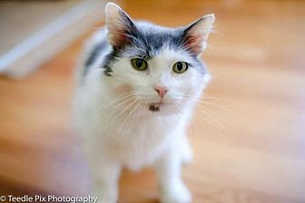 Domestic Mediumhair Cat for adoption in Whitewater, Wisconsin - Odvin