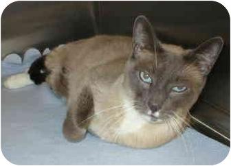 Snowshoe Cat for adoption in North Highlands, California - Rupert