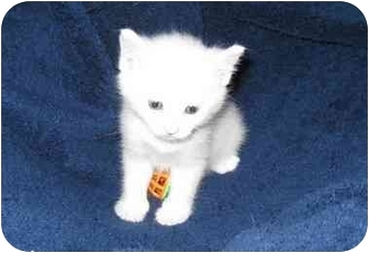 Manx Kitten for adoption in Richmond, Virginia - Logan