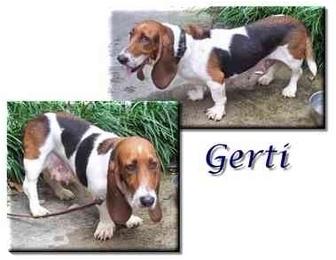 Basset Hound Dog for adoption in Marietta, Georgia - Gerti