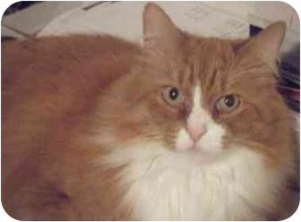 Domestic Longhair Cat for adoption in Kensington, Maryland - OJ