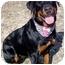 Photo 3 - Rottweiler Dog for adoption in Huntington, New York - Sally