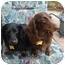Photo 2 - Dachshund Dog for adoption in San Jose, California - Duke 2207