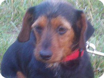 Dachshund Dog for adoption in Spring Valley, New York - Shirley