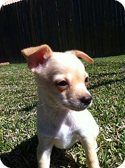 Chihuahua Puppy for adoption in El Cajon, California - ANITA (NY)
