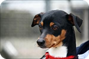 Miniature Pinscher Mix Dog for adoption in Anderson, Indiana - Hotch