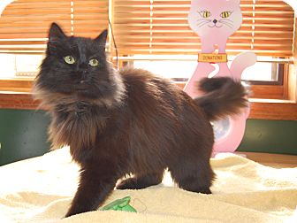 Domestic Longhair Cat for adoption in North Judson, Indiana - Stacey