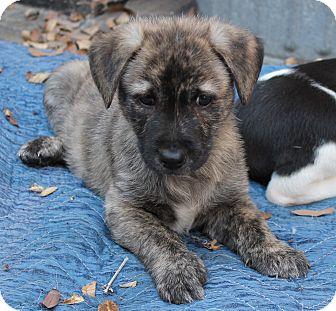 Flat-Coated Retriever/Labrador Retriever Mix Puppy for adoption in La Habra Heights, California - Wiley