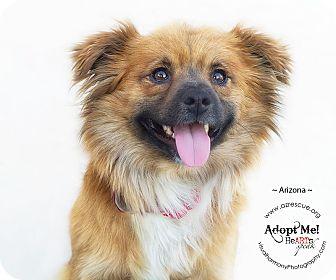Papillon Mix Dog for adoption in Phoenix, Arizona - Arizona