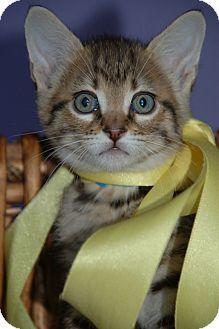 Domestic Shorthair Kitten for adoption in Flower Mound, Texas - Langston