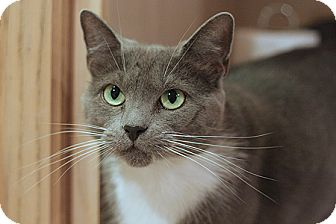 Domestic Shorthair Cat for adoption in Columbia, Maryland - Taco