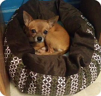 Chihuahua Mix Dog for adoption in Richmond, Virginia - Biscuit