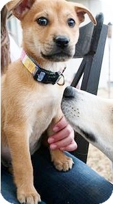 German Shepherd Dog/Australian Shepherd Mix Puppy for adoption in Austin, Texas - Dora